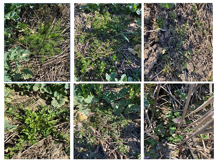 Bilderna visar örtogräs som är kvar på våren i olika strategier utan Belkar i försöksserien L5-8010 2021.