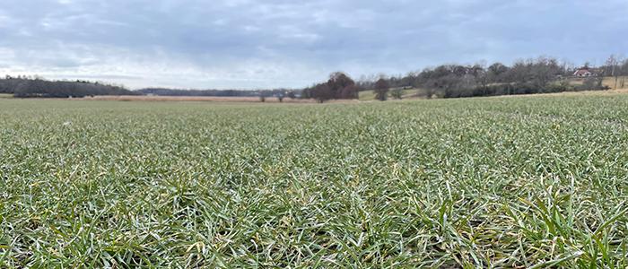 Gräs- och örtogräsbekämpningar i vete, råg och rågvete