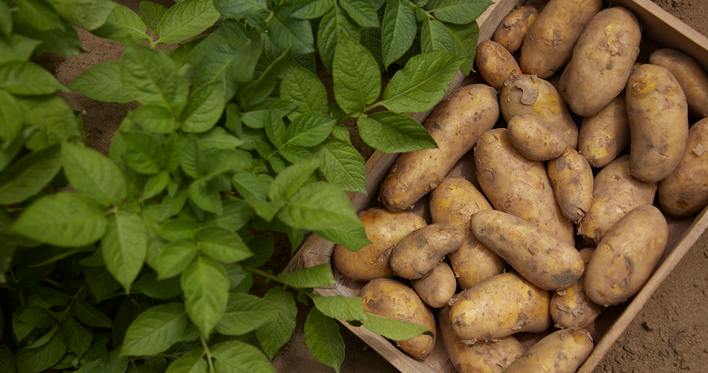 Potatisbladmögel Zorvec