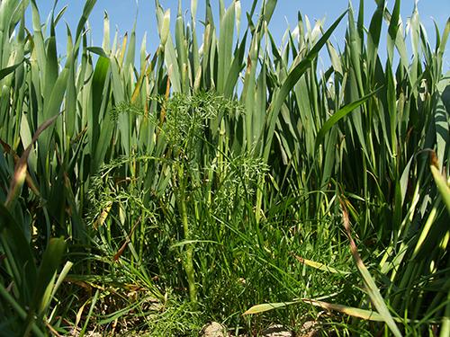 Sena örtogräsbekämpningar i höstsäd